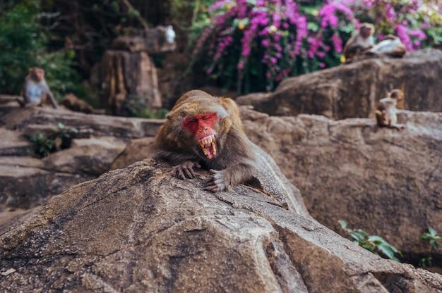 Macaco adulto di rhesus del capo del pacchetto della scimmia del viso arrossato nel parco naturale tropicale di hainan, cina. l'alfa maschio di sbadiglio mostra i denti nell'area della foresta naturale. scena della fauna selvatica con animale di pericolo. mulatta macaca Foto Premium