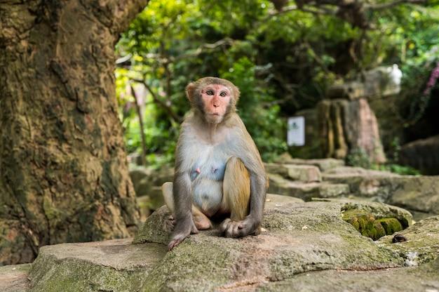 Macaco adulto del rhesus della scimmia del viso arrossato nel parco naturale tropicale di hainan, cina. scimmia sfacciata nell'area della foresta naturale. scena della fauna selvatica con animale di pericolo. macaca mulatta copyspace Foto Premium