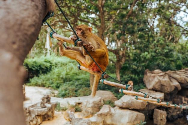 Macaco adulto del rhesus della scimmia del viso arrossato nel parco naturale tropicale di hainan, cina. scimmia sfacciata nell'area della foresta naturale. scena della fauna selvatica con animale di pericolo. mulatta macaca. Foto Premium