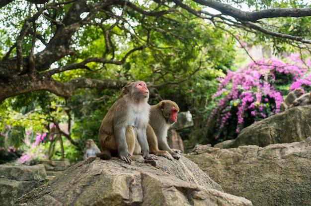 Macaco adulto di rhesus delle scimmie del viso arrossato nel parco naturale tropicale di hainan, cina. scimmia sfacciata nell'area della foresta naturale. scena della fauna selvatica con animale di pericolo. mulatta macaca. Foto Premium