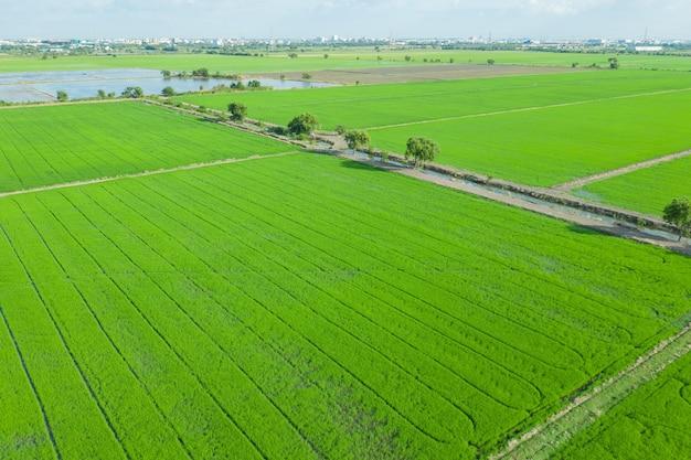 Vista aerea dal drone volante di campo di riso con natura modello paesaggio verde Foto Premium
