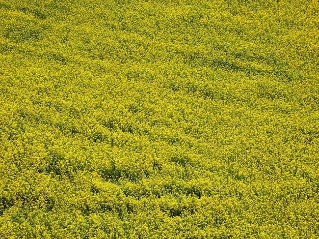 Vista aerea di fiori gialli di colza, colza o campo di colza. sfondo naturale. Foto Premium