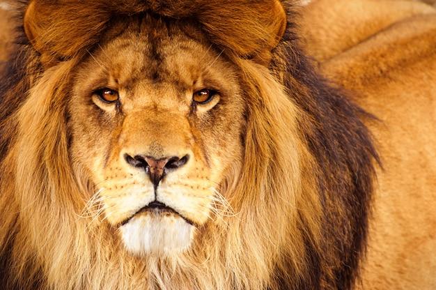 Headshot del leone maschio africano che esamina la macchina fotografica Foto Premium