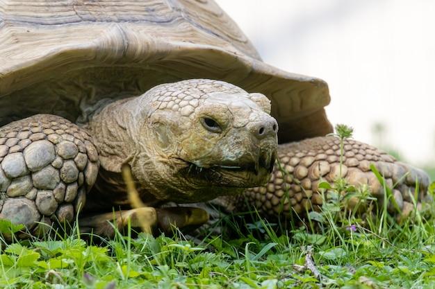 Tartaruga stimolata africana close up ritratto Foto Premium