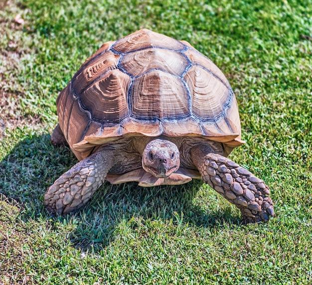 Tartaruga stimolata africana sull'erba Foto Premium