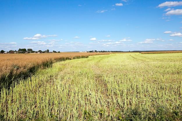 Un campo agricolo, che ha effettuato la raccolta della colza, l'estate, Foto Premium