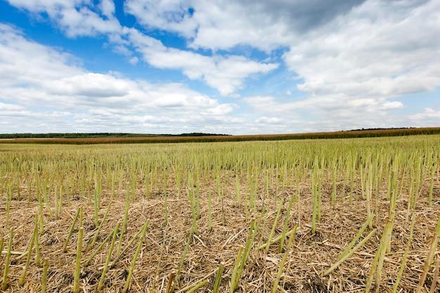 Campo agricolo, che raccoglie l'estate matura dell'agricoltura del raccolto di colza Foto Premium