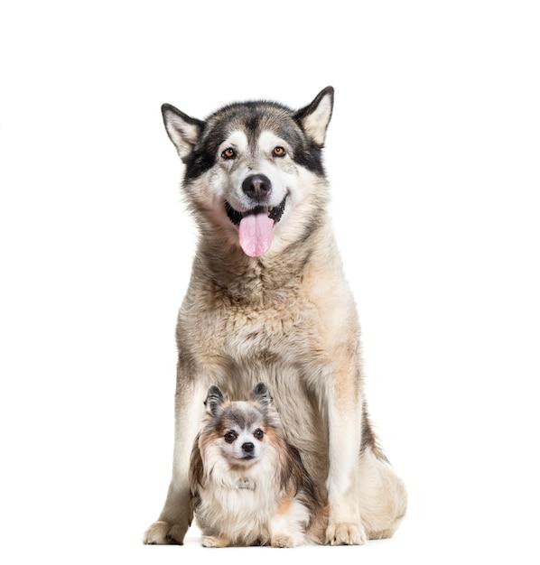 Seduta dei cani ansimanti e chihuahua dell'alaska malamute Foto Premium