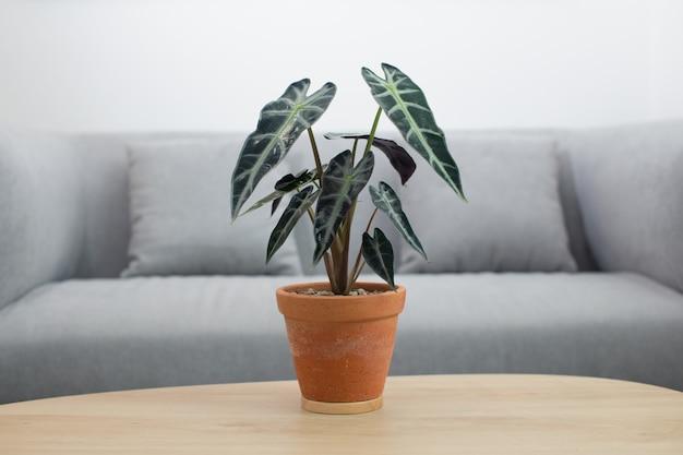 Alocasia sanderiana bull o pianta alocasia in vaso di terracotta sul tavolo di legno nel soggiorno Foto Premium
