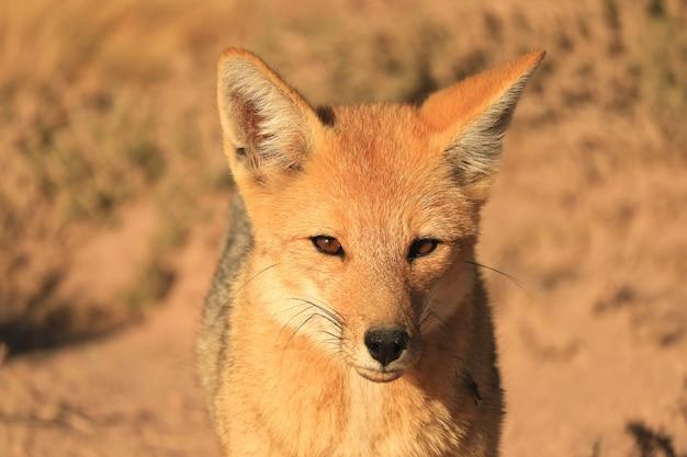 Andina fox o zorro culpeo rilassante nel deserto brush field dell'altiplano cileno, cile Foto Premium