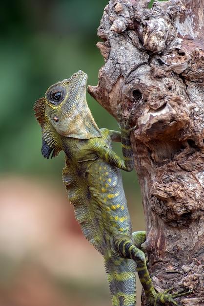 Lucertola capa angolare (gonocephalus bornensis) sul tronco di albero Foto Premium