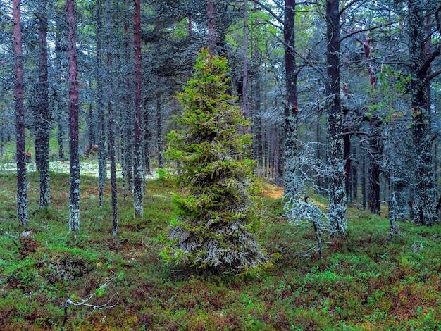 Foresta settentrionale densa artica. l'abete coperto di muschio Foto Premium