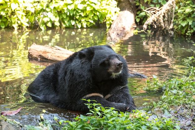 Orso nero asiatico nell'acqua Foto Premium