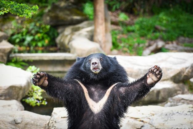 Orso nero asiatico Foto Premium