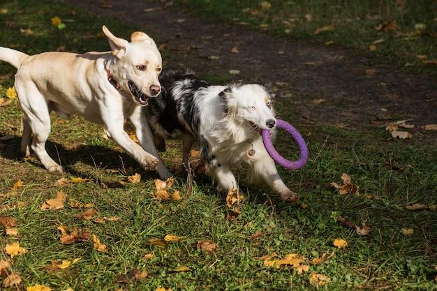 Pastore australiano con estrattore che gioca con il labrador nella foresta di autunno Foto Premium