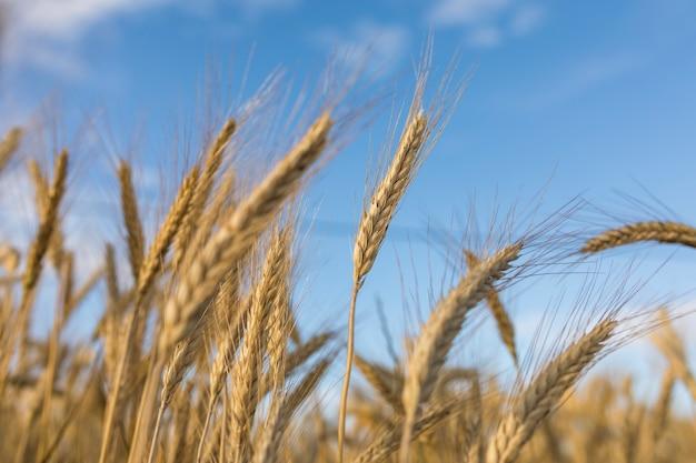 Paesaggio autunnale con spiga di grano dorato Foto Premium