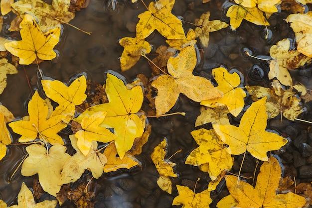 Foglie di autunno in una pozzanghera. tempo piovoso autunnale. sfondo autunno. foglie gialle che galleggiano in una pozzanghera. piove. Foto Premium