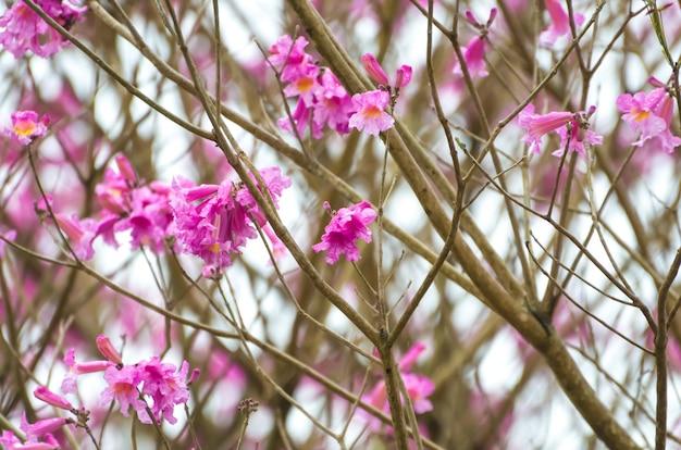Sfondo di bellissimi fiori di ciliegio. Foto Premium