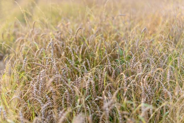 Sfondo di maturazione spighe di campo di grano oro prato. Foto Premium