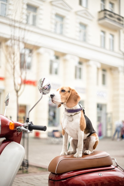 Il cane beagle si siede su un ciclomotore retrò sullo sfondo di una strada cittadina Foto Premium