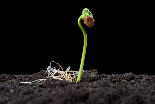 Germogli di fagiolo. nuovo concetto di vita. piantine verdi compaiono dal terreno in primavera. avvicinamento. sfondo nero Foto Premium