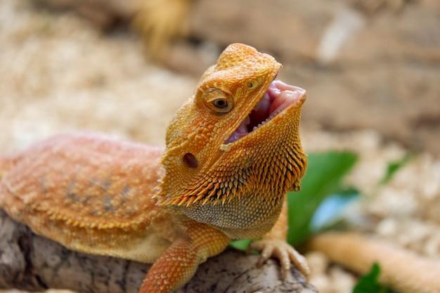 Il drago barbuto (pogona vitticeps) è alto vicino della lucertola australiana Foto Premium