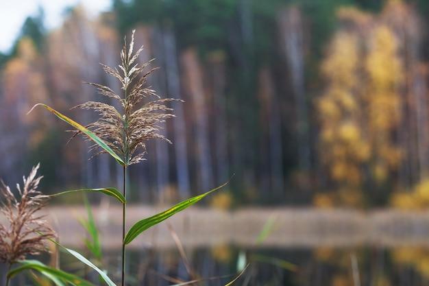 Bellissimo paesaggio autunnale con alberi gialli sfocati. ramo di canna sul lago di fronte. fogliame colorato nel parco. foglie che cadono sfondo naturale. copia spazio Foto Premium