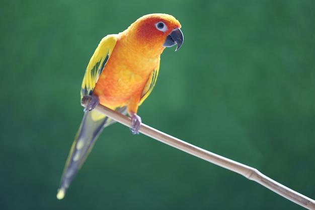 Bellissimo uccello, parrocchetto sun conure (aratinga solstitialis) su sfondo verde Foto Premium