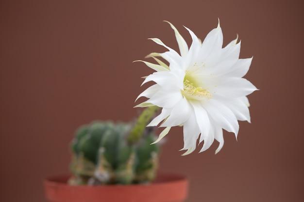 Bellissimo fiore di cactus su sfondo marrone Foto Premium