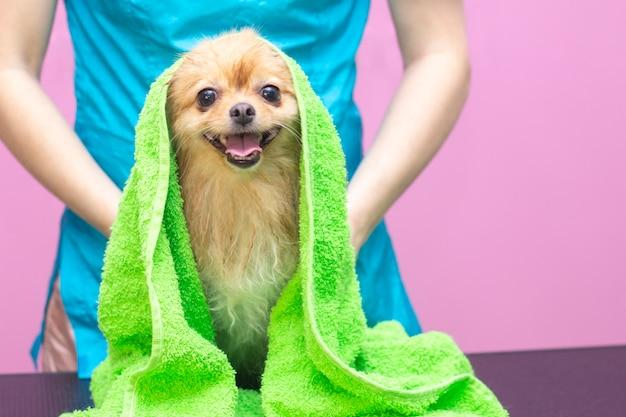 Bellissimo cane di razza spitz al salone Foto Premium