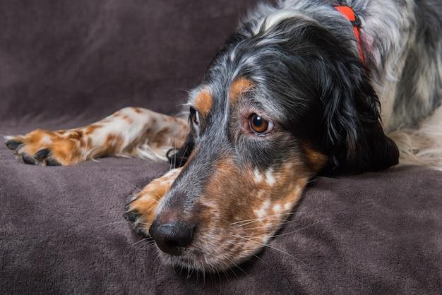 Bellissimo setter inglese con macchie marroni e nere che riposa mentre dorme Foto Premium