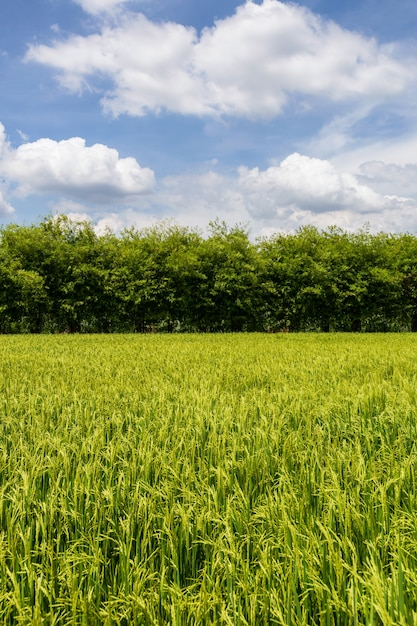 Bellissimo campo verde in campagna con un cielo blu come sfondo. Foto Premium