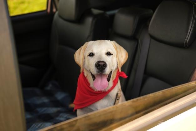 Bellissimo cane labrador retriever in macchina Foto Premium