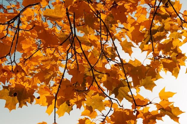 Belle foglie di autunno arancione su uno sfondo di cielo turchese Foto Premium