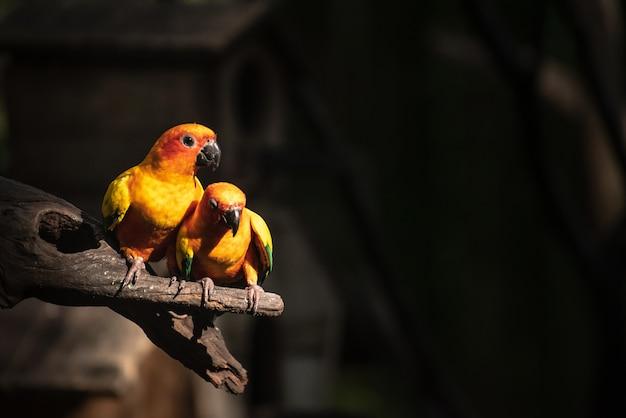 Bellissimo pappagallo, sun conure sul ramo di un albero Foto Premium