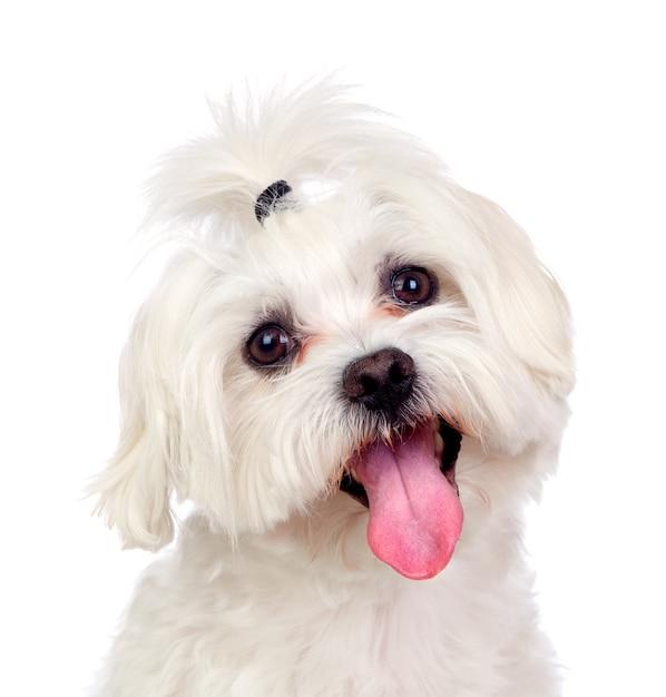 Bellissimo bianco bichon maltese Foto Premium