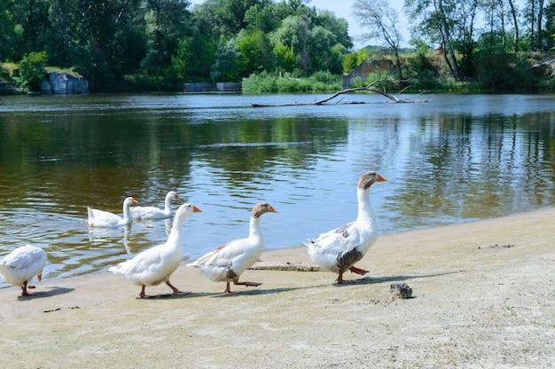 Belle oche bianche. uno stormo di uccelli sulla riva del fiume. uccelli acquatici domestici. stormo di uccelli che tornano a casa. Foto Premium