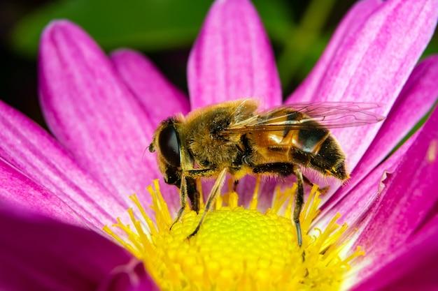 L'ape raccoglie il polline seduto su un fiore. Foto Premium