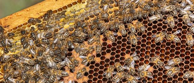 Api in un favo che producono miele Foto Premium