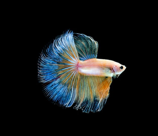 Betta fish, siamese fighting, betta splendens isolated on black background Foto Premium