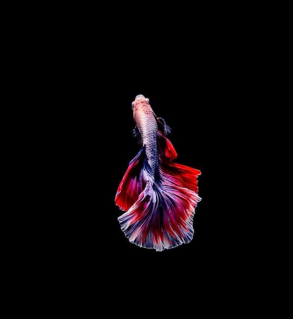 Betta pesce, pesce combattente siamese, betta splendens isolato su sfondo nero Foto Premium