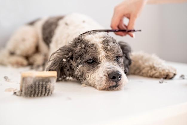 Cane di bichon frise che si fa tagliare i capelli dal battipista Foto Premium