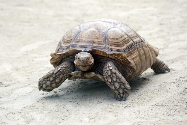 Grande tartaruga elefante che striscia sulla sabbia Foto Premium