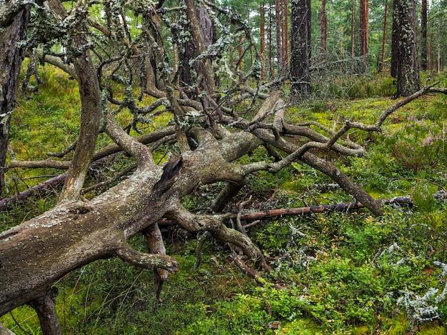Radice di grande albero caduto coperta di muschio spesso. flora vergine di boschi. misteriosa atmosfera boschiva. mistica foresta pluviale. nel profondo della foresta. vecchio albero fulmine accatastato. Foto Premium