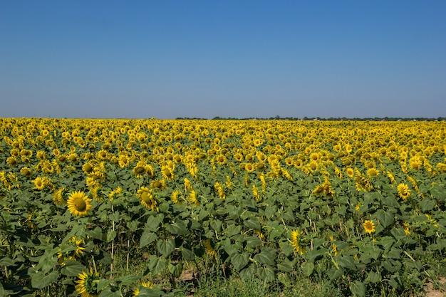 Grande campo di girasoli gialli in fiore a mezzogiorno nella soleggiata giornata estiva. Foto Premium