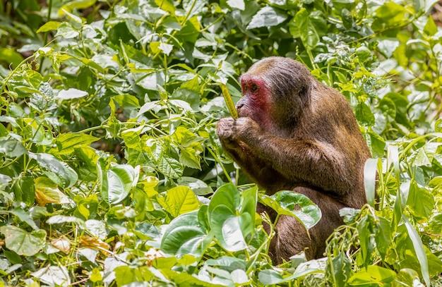 Grande scimmia con la faccia rossa Foto Premium