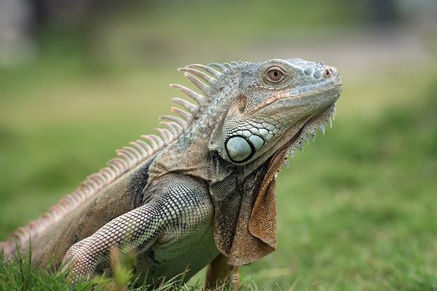 Grande iguana rossa che cammina sull'erba Foto Premium