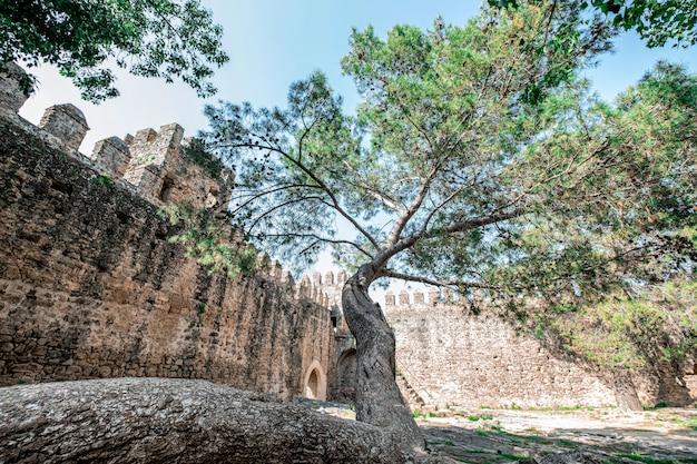 Grande albero che cresce all'interno di un castello in rovina Foto Premium