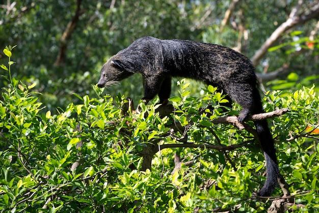 Binturong, bearcat, (arctictis binturong) sull'albero. Foto Premium