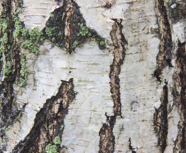 Corteccia di betulla con strisce di betulla nera su corteccia di betulla bianca e con trama di corteccia di betulla in legno Foto Premium